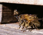 Honungsbi, Bi (Apis mellifera)